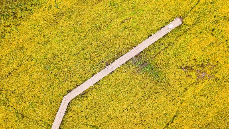 Las fotos aéreas del cosmos amarillo florecen con la calzada imágenes de archivo libres de regalías