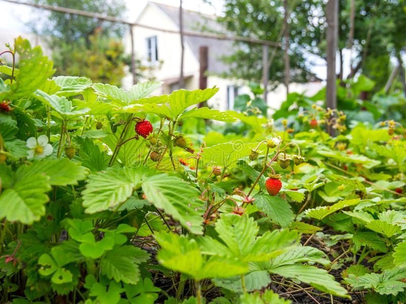 Las fresas del bosque se cultivan en el área del jardín imagen de archivo libre de regalías