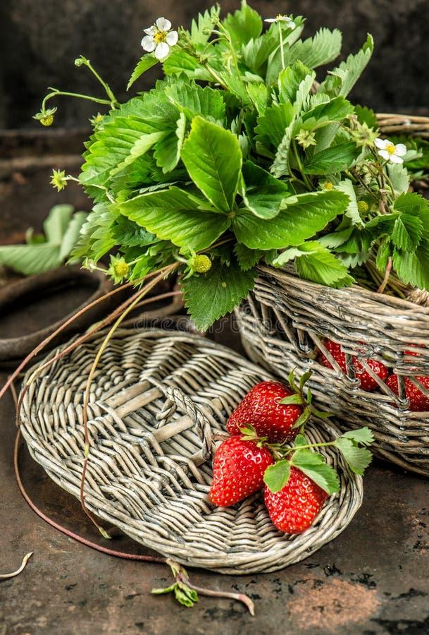 Las fresas rojas, verde salen de las flores de la primavera de la American National Standard Estilo retro imagen de archivo