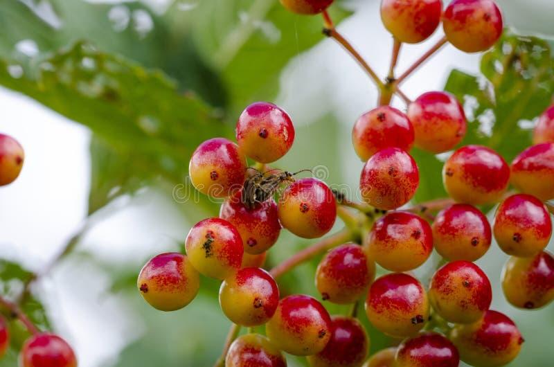 Las frutas inmaduras del guelder subieron imágenes de archivo libres de regalías