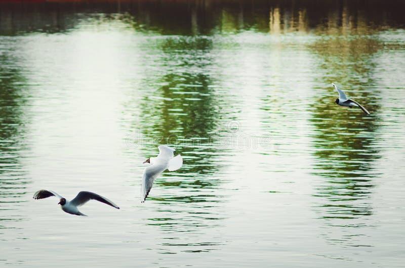 Las gaviotas blancas vuelan sobre el río en un día de verano Visión hermosa imagen de archivo