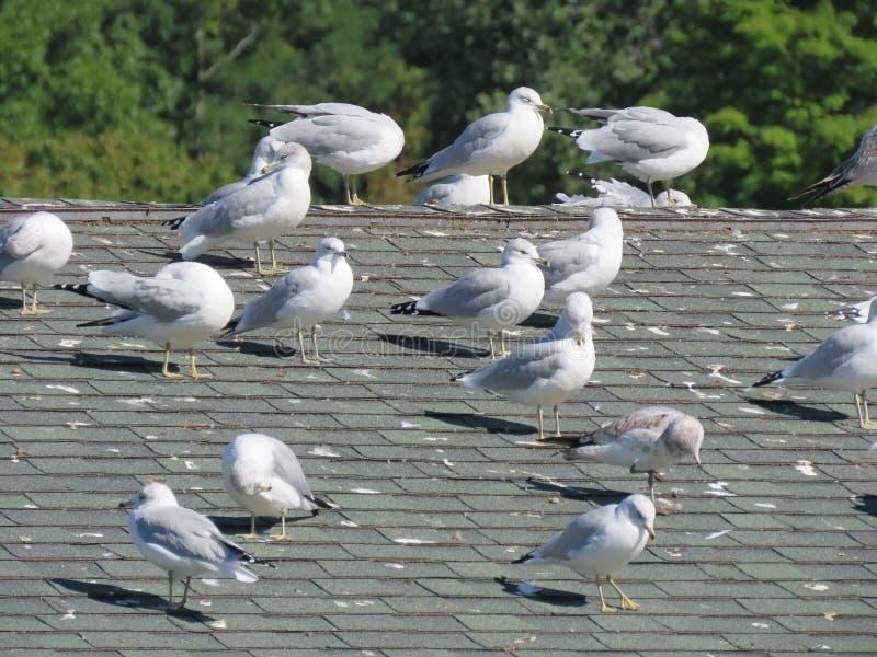 Las gaviotas se asolean en un tejado fotos de archivo