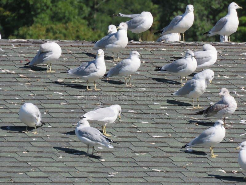 Las gaviotas se asolean en un tejado imagen de archivo