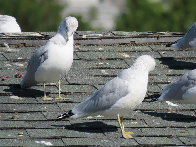 Las gaviotas se asolean en un tejado imagen de archivo libre de regalías