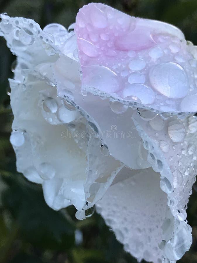 Las gotas de lluvia en subieron foto de archivo