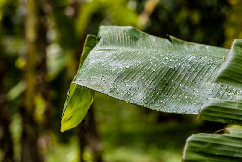 Las gotitas de agua en las hojas después de la lluvia fotografía de archivo libre de regalías