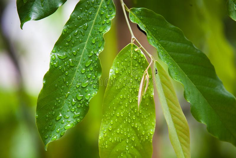 Las gotitas de agua en las hojas después de la lluvia imagenes de archivo