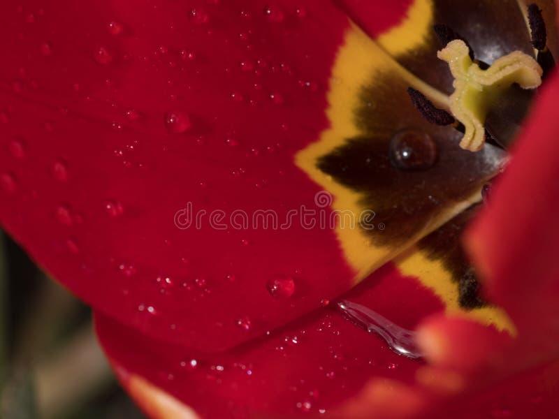 Las gotitas de agua macras en los pétalos del tulipán florecen en primavera fotografía de archivo