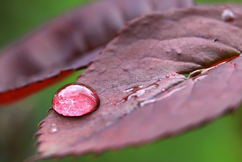Las gotitas del agua en salvaje subieron las hojas fotografía de archivo
