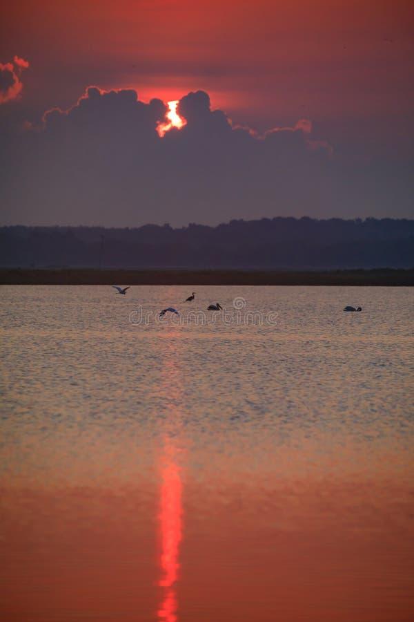 Las grandes garcetas se unen a pelícanos y la garza de gran azul para el desayuno en la madrugada en la salida del sol en la rese fotos de archivo