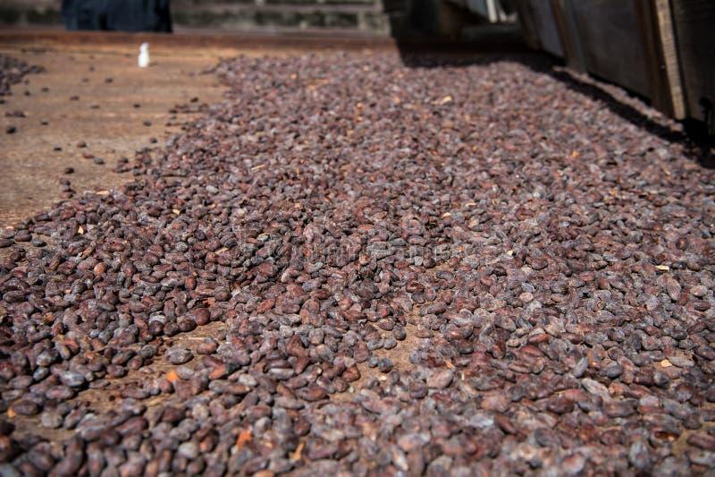 Las habas crudas del cacao que se secan en el hierro oxidado suben en granja fotografía de archivo