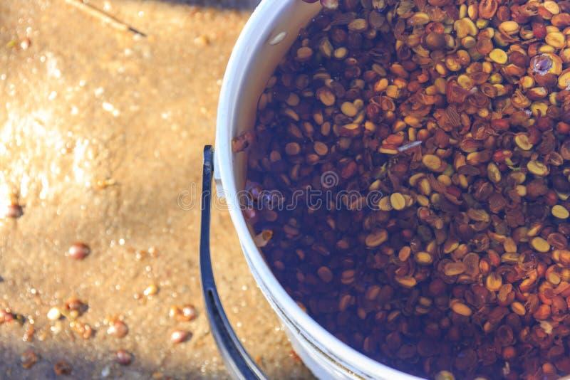 Las habas de las semillas del café entonces se lavan a fondo imagen de archivo