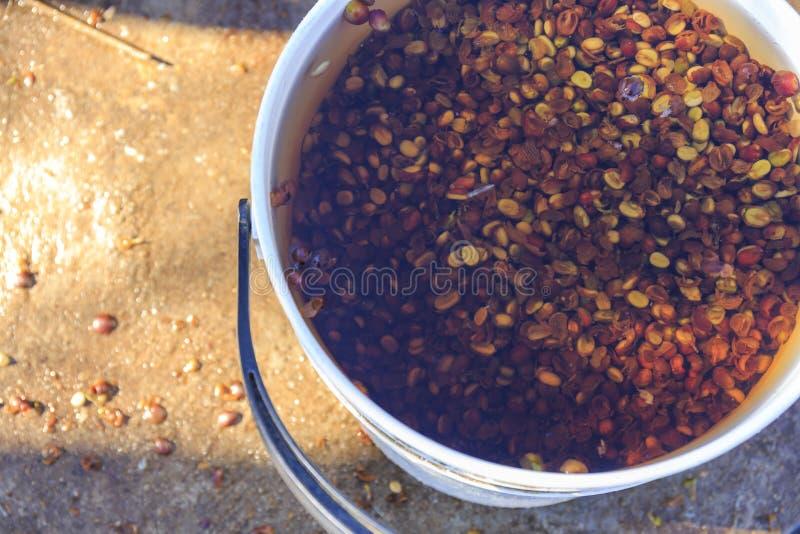 Las habas de las semillas del café entonces se lavan a fondo foto de archivo libre de regalías