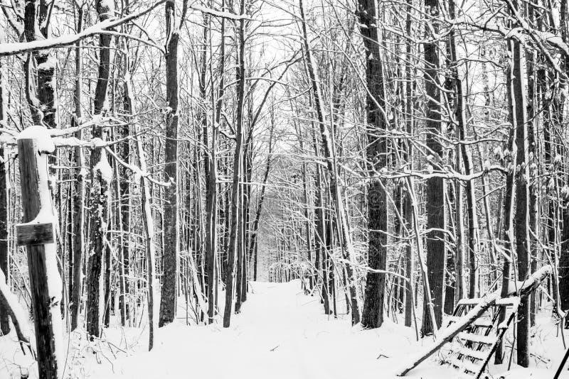 Las Hardwood po burzy śnieżnej w grudniu czarno-biały zdjęcia stock