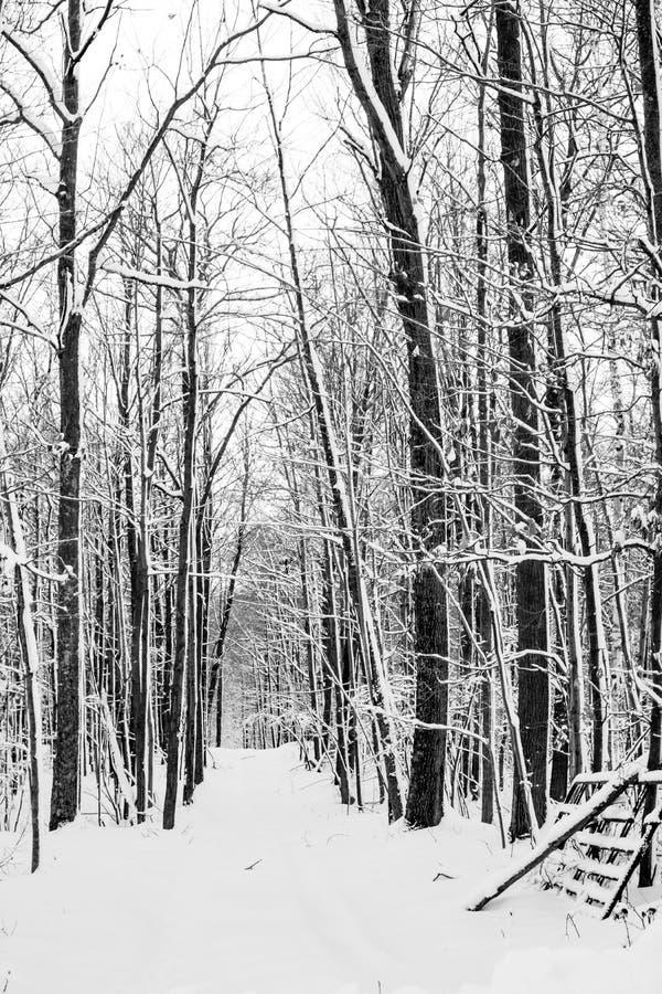 Las Hardwood po burzy śnieżnej w grudniu pionowo czarno-biały fotografia royalty free