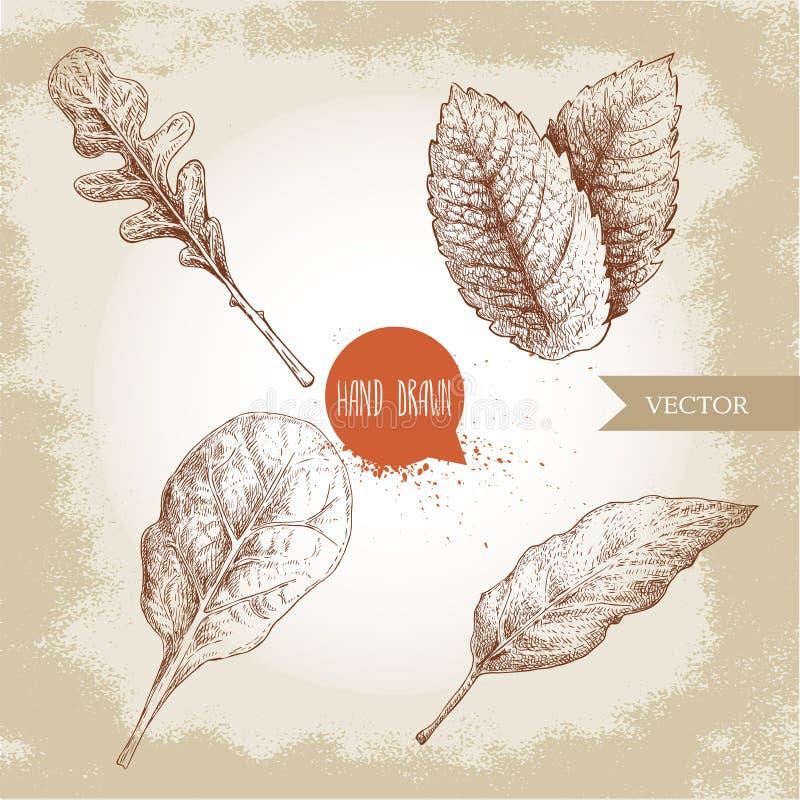 Las hierbas bosquejan el sistema El Arugula, acu?a la hoja de las hojas, de la albahaca y de laurel Ejemplos dibujados mano del v stock de ilustración