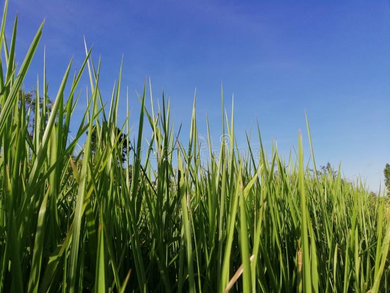 Las hierbas cubiertas con paja en la frontera del arroz colocan foto de archivo