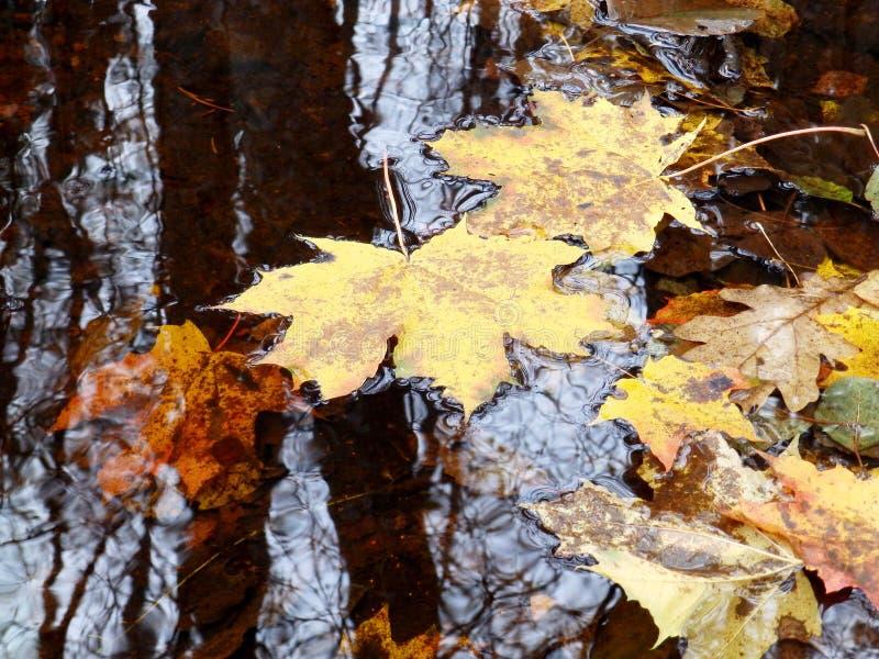Las hojas amarillas caen en el agua, imagen de archivo libre de regalías