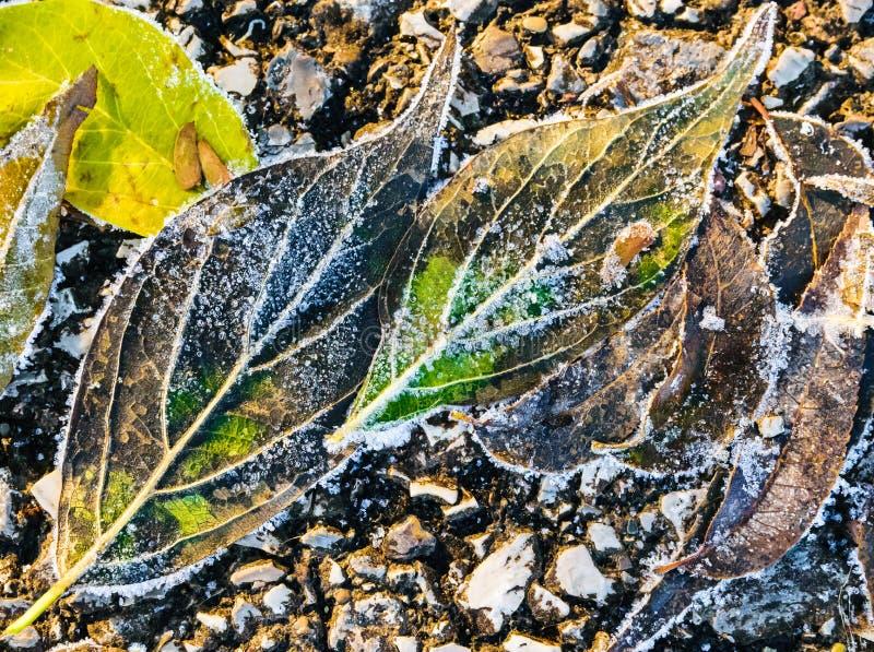 Las hojas congeladas coloridas de la caída capturaron en la tierra, extracto de las naturalezas fotos de archivo libres de regalías