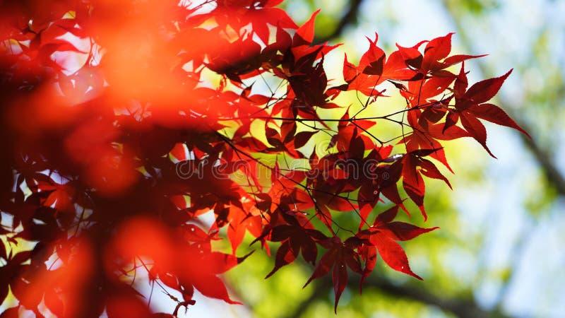 Las hojas de arce fotos de archivo
