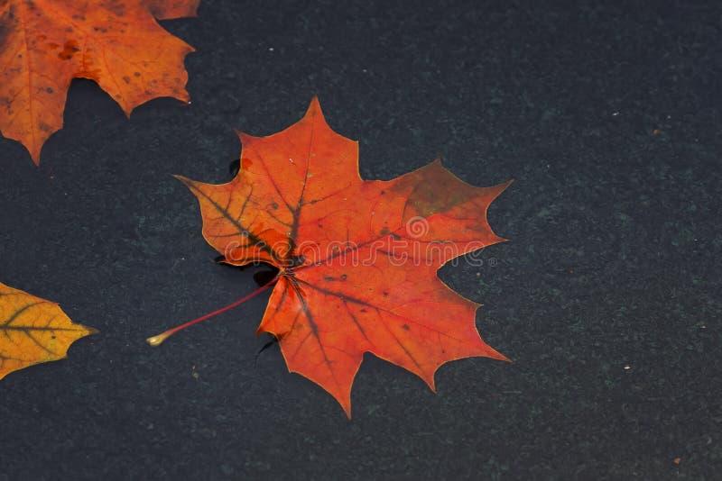 Las hojas de arce coloreadas que flotan en un charco durante otoño llueven imágenes de archivo libres de regalías