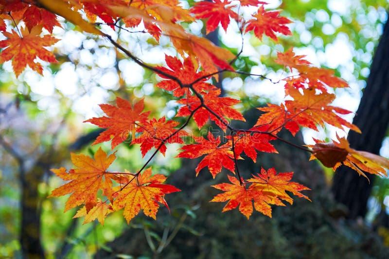 Las hojas de arce rojas imagen de archivo libre de regalías