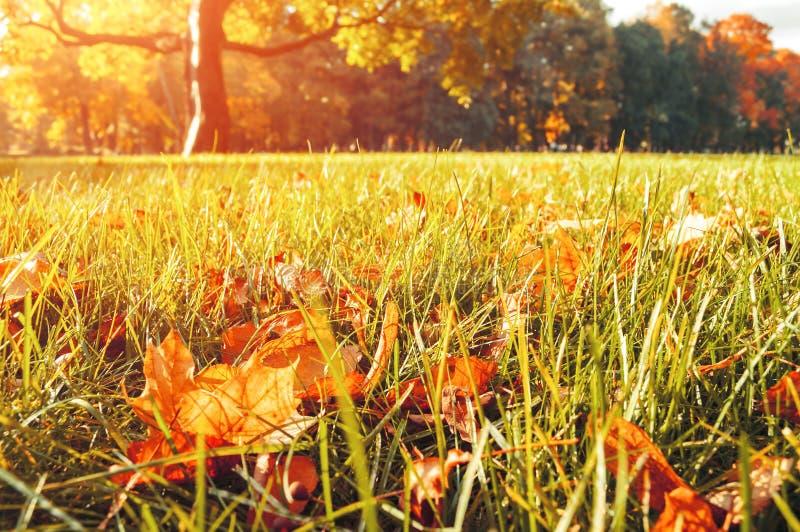 Las hojas de arce secas amarillas y anaranjadas del otoño en el césped en otoño parquean fotos de archivo