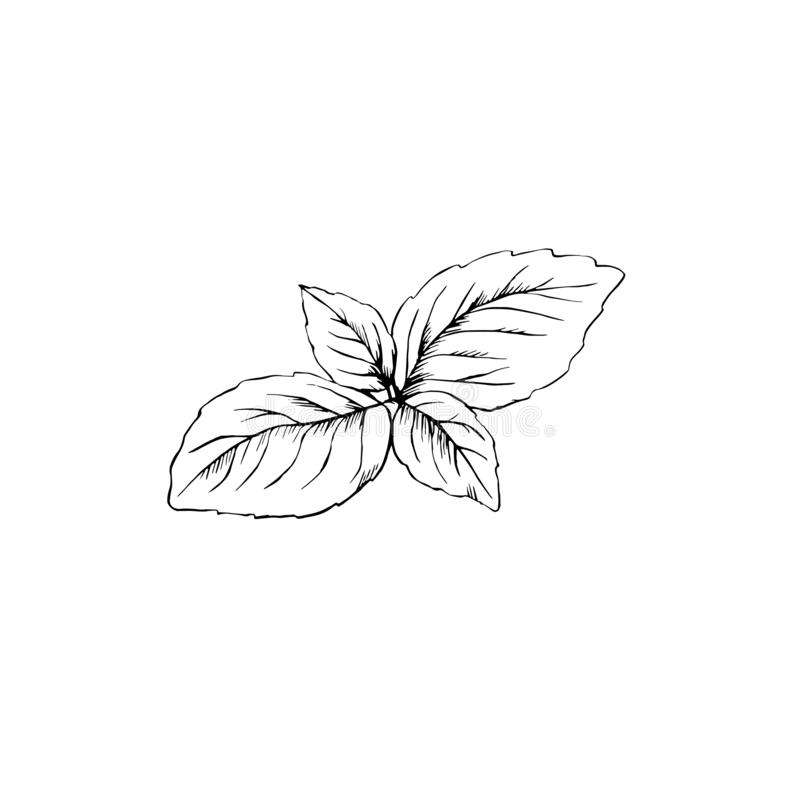 Las hojas de la albahaca dan bosquejo exhausto aisladas libre illustration