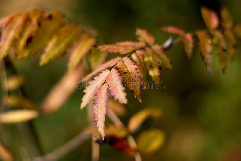 Las hojas de la ceniza de montaña dadas vuelta rojas imagen de archivo libre de regalías