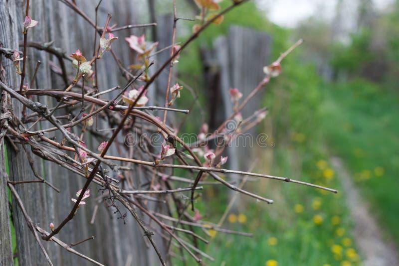 las hojas de la uva despiertan en primavera cerca de la cerca imagenes de archivo