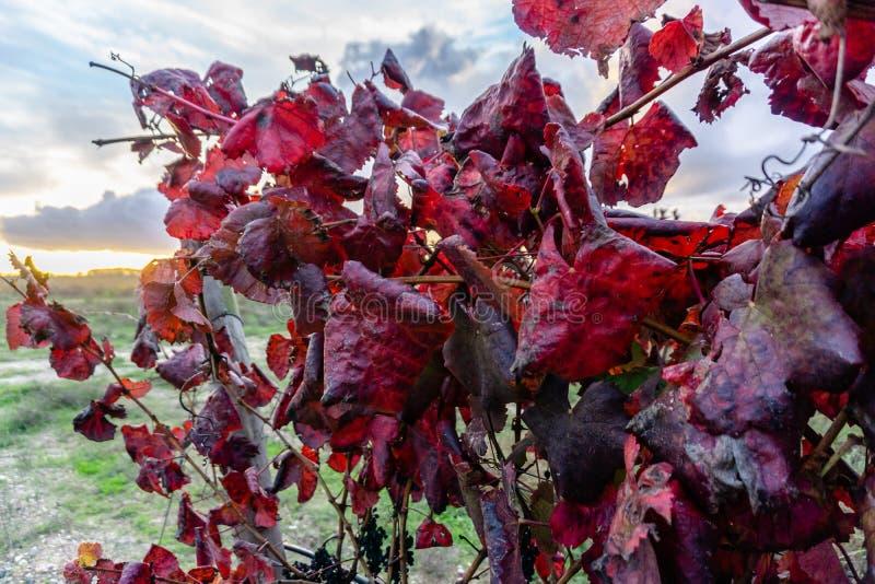 Las hojas de la uva roja se destacaban en un viñedo de oro-coloreado i del otoño fotografía de archivo libre de regalías