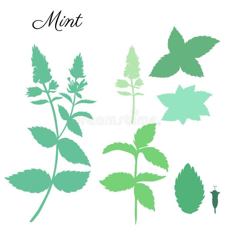 Las hojas de menta, hierbabuena florecen en el fondo blanco, silueta floral dibujada mano del vector, hierba picante del verde de ilustración del vector