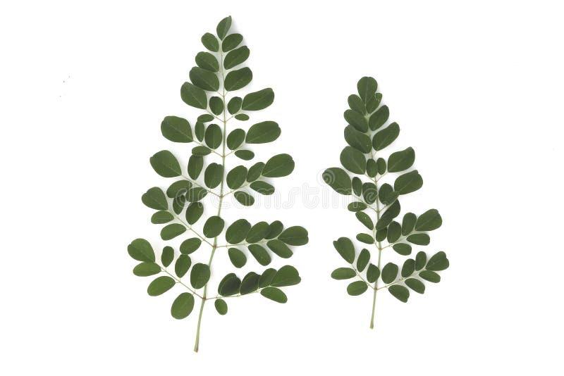 Las hojas de Moringa tienen propiedades medicinales aisladas en el fondo blanco imagen de archivo libre de regalías