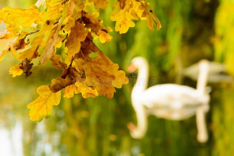 Las hojas de otoño coloridas en la orilla del lago ilustran el silh del cisne fotografía de archivo