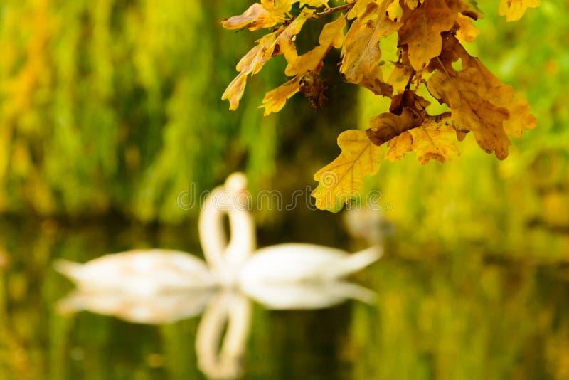 Las hojas de otoño coloridas en la orilla del lago ilustran el silh del cisne imagenes de archivo