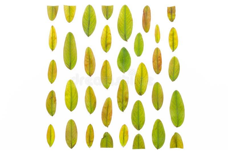 Las hojas de otoño multicoloras alinearon en la forma de un cuadrado en un fondo blanco Textura colorida del modelo de las hojas  imágenes de archivo libres de regalías