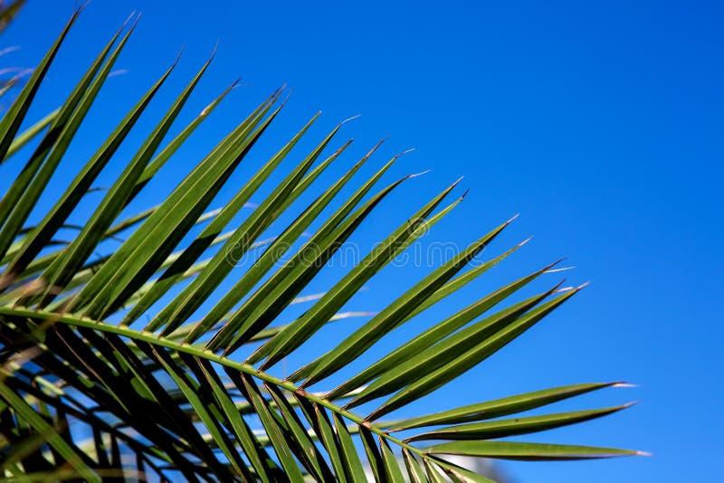 Las hojas de palma se cierran para arriba imagen de archivo libre de regalías