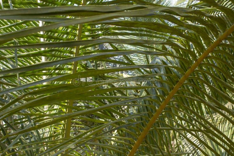 Las hojas de palma verdes frescas se cierran para arriba en un fondo borroso de palmeras foto de archivo