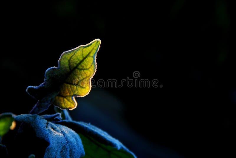 Download Las hojas de plantas imagen de archivo. Imagen de ganja - 64207707