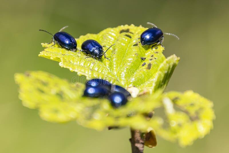 Las hojas del árbol de aliso son totalmente calvas comido por el alni de Agelastica del escarabajo del aliso con un lustre azul m fotos de archivo libres de regalías