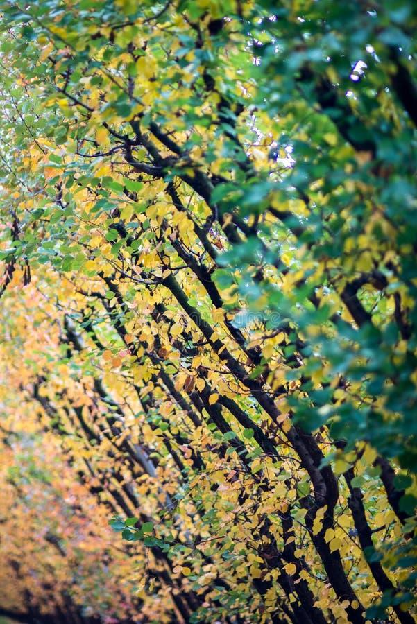 Las hojas del albaricoque están a punto de caer imagenes de archivo