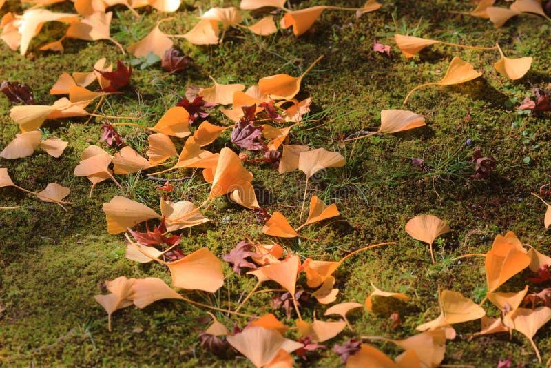 Las hojas del amarillo de los árboles del Ginkgo en eikan-hacen zenrin-ji imagenes de archivo