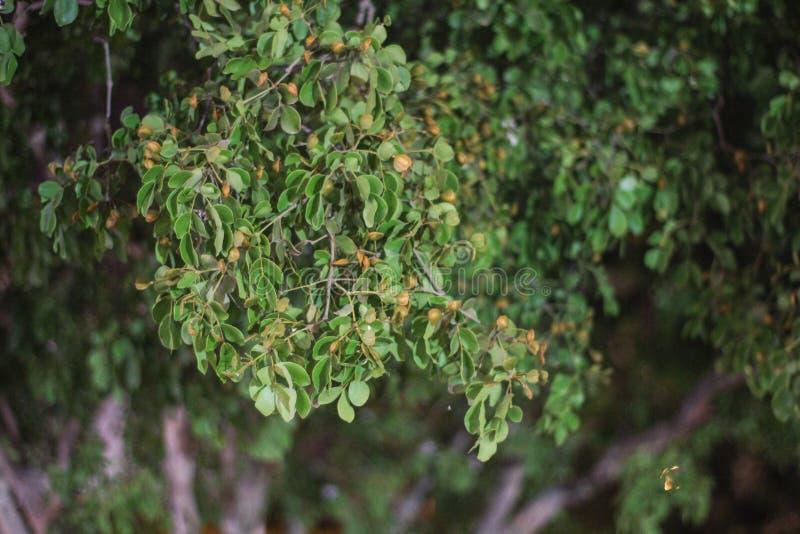 Las hojas del incienso usadas como las resinas y papeles pintados aromáticos se ponen verde foto de archivo libre de regalías