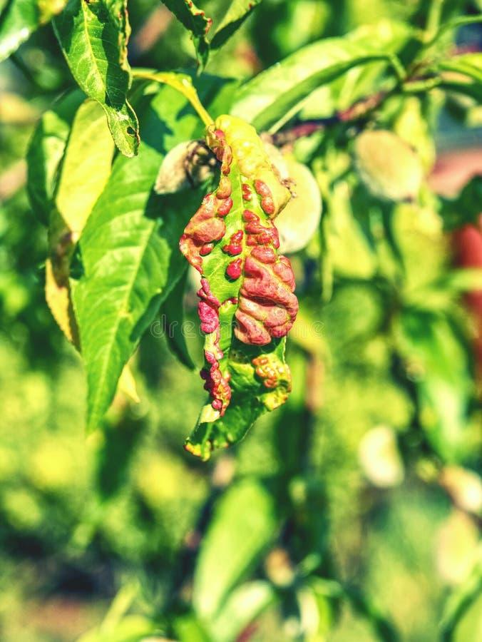 Las hojas del melocotón con la hoja encrespan enfermedad de los deformans de Taphrina fotografía de archivo