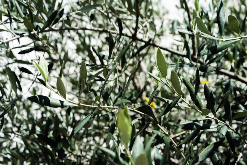 Las hojas del olivo del europaea del Olea hojean cerca para arriba con la luz shinging a través de árbol mediterráneo de la plant imagenes de archivo