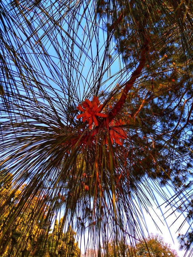 Las hojas del pino de Longleaf se cierran encima de tiros imagen de archivo libre de regalías