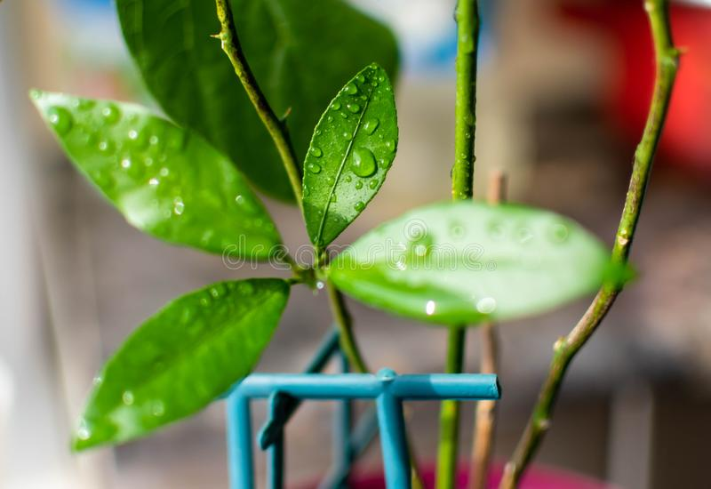 Las hojas del primer verde fresco joven del árbol de limón con descensos del agua fotografía de archivo libre de regalías