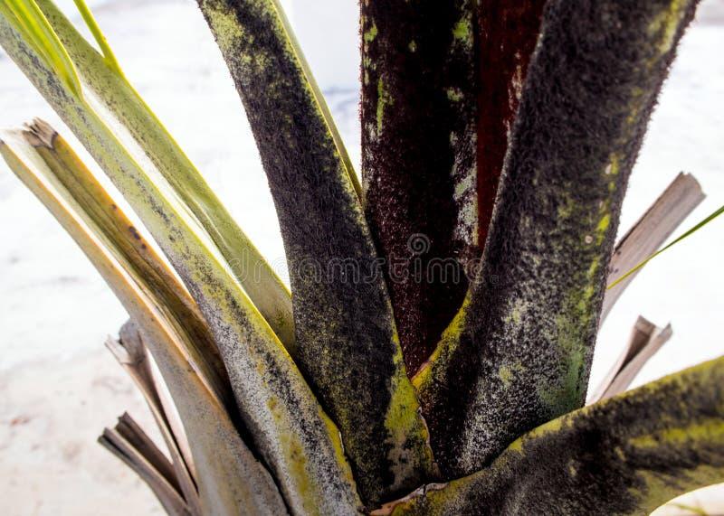 Las hojas del tronco y de la bráctea de la palma fotos de archivo libres de regalías
