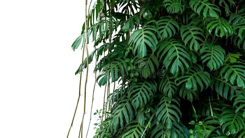 Las hojas del verde de la liana nativa del pinnatum del Epipremnum de Monstera planean foto de archivo libre de regalías