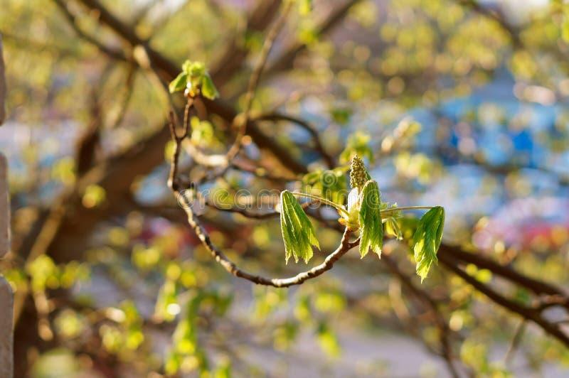 Las hojas florecen en los árboles en primavera temprana, hojas jovenes de la castaña foto de archivo libre de regalías